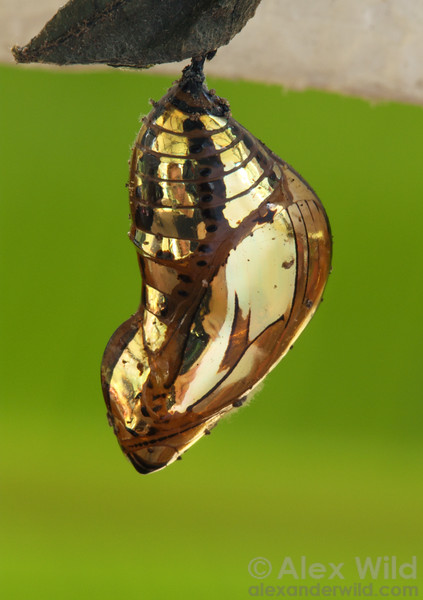 The spectacular chrysalis of a tropical Tithorea butterfly is as reflective as a mirror. 