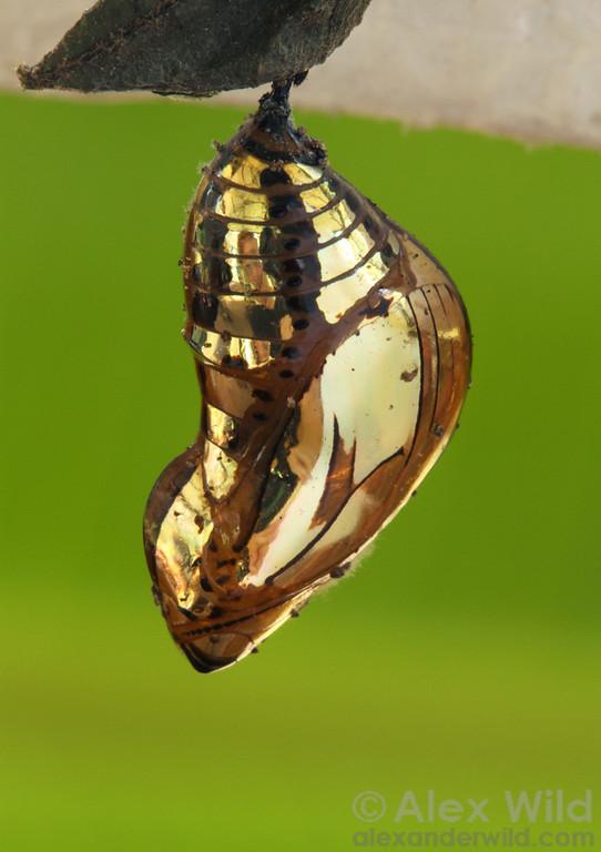The spectacular chrysalis of a tropical Tithorea butterfly is as reflective as a mirror.   Misahuallí, Napo, Ecuador