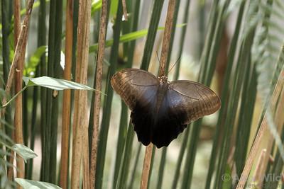 Caligo owl butterfly.  Misahuallí, Napo, Ecuador