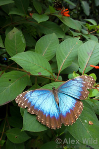 Morpho peleides, the common morpho, is perhaps the most widely-recognized insect in the Neotropics.   Green Hills Butterfly Ranch, Cayo District, Belize