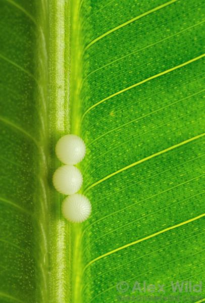 Eggs of a Caligo owl butterfly.  Green Hills Butterfly Ranch, Belize