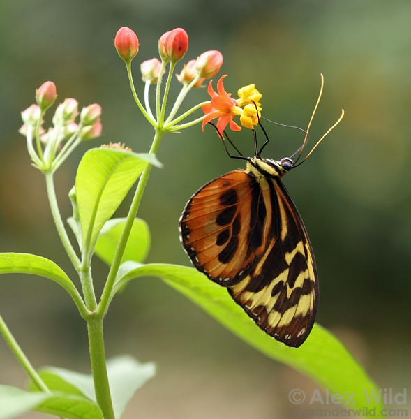 A tropical daniine butterfly, Tithorea sp., feeds from a milkweed.
