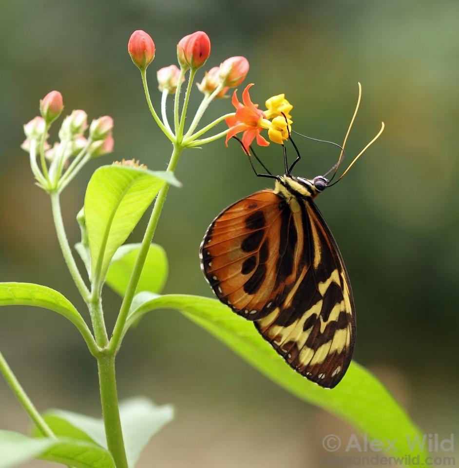 A tropical daniine butterfly, Tithorea sp., feeds from a milkweed.  Misahuallí, Napo, Ecuador