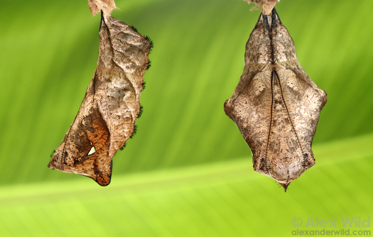 Chrysalids of Caligo owl butterflies in lateral and ventral view.  Misahuallí, Napo, Ecuador