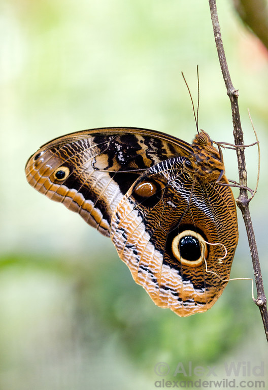The owl butterfly Caligo uranus is named for its striking eyespots.   Green Hills Butterfly Ranch, Cayo District, Belize