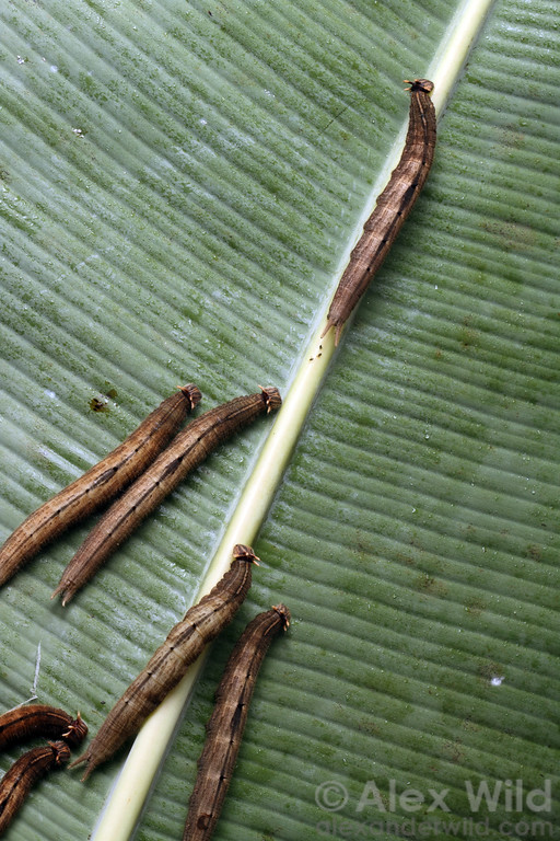 Caligo caterpillars on a banana leaf.  Misahuallí, Napo, Ecuador