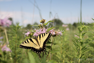 Papilio glaucus - Eastern Tiger Swallowtail feeding from bergamot in an Illinois prairie.  Urbana, Illinois, USA