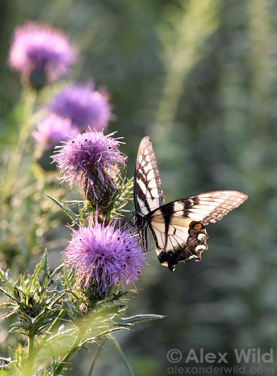 Papilio glaucus - Eastern Tiger Swallowtail.  Urbana, Illinois, USA
