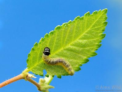 Leafroller larva