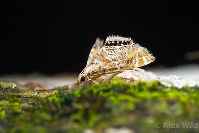 Petrophila