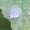 Summer azure(one of the Spring azure group)<br /> Celastrina neglecta
