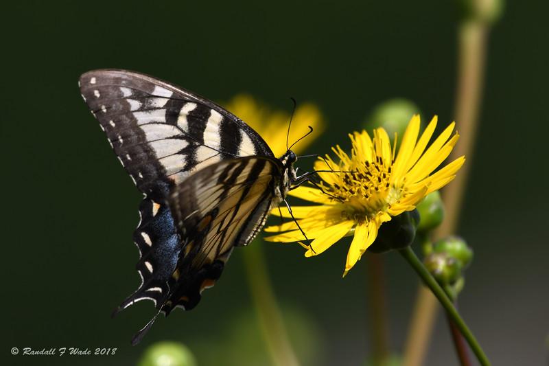 Eastern Tiger Swallowtail On Prairie Dock