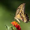Giant swallowtail, Papilio cresphontes
