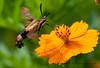 Hummingbird Clearwing moth<br /> Hemaris thysbe<br /> August 07, 2010