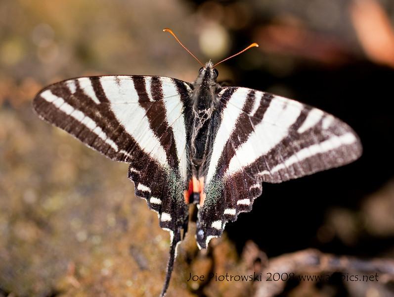 Zebra Swallowtail<br /> Eurytides marcellus