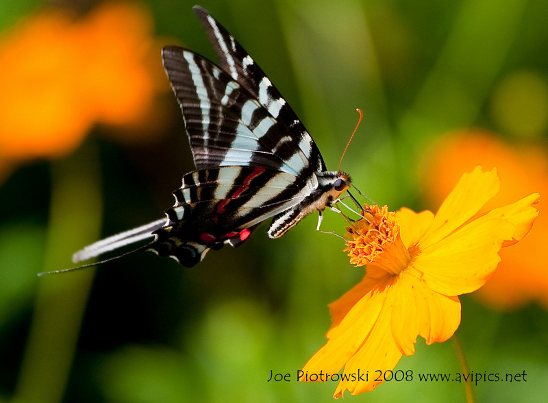 Zebra Swallowtail<br /> Eurytides marcellus<br /> August 07, 2010