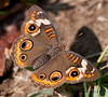 Common Buckeye<br /> Junonia coenia<br /> August 07, 2010