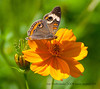Common Buckeye<br /> Junonia coenia