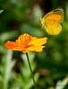 Sleepy Orange Sulphur<br /> Eurema nicippe<br /> August 07, 2010