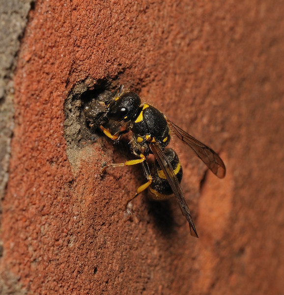Mason Wasp - Ancistrocerus sp, July