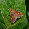 Pyrausta aurata, May
