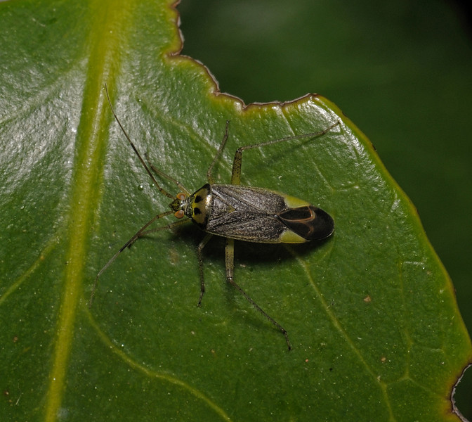 Closterotomus trivialis male, May