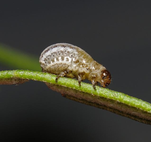 Chrysolina americana larva, April