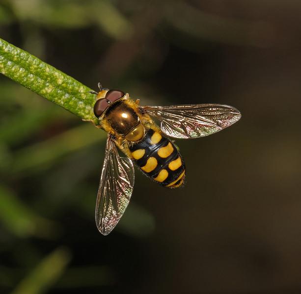 Hoverfly - Eupeodes sp, June