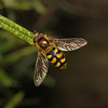 Hoverfly - Eupeodes sp, June