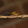 Green Shieldbug - Palomena prasina, April