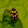 14 Spot Ladybird, May