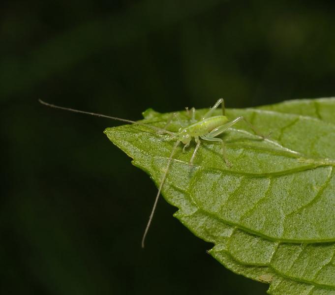 Conehead nymph, May