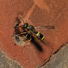 Mason Wasp - Ancistrocerus sp, June