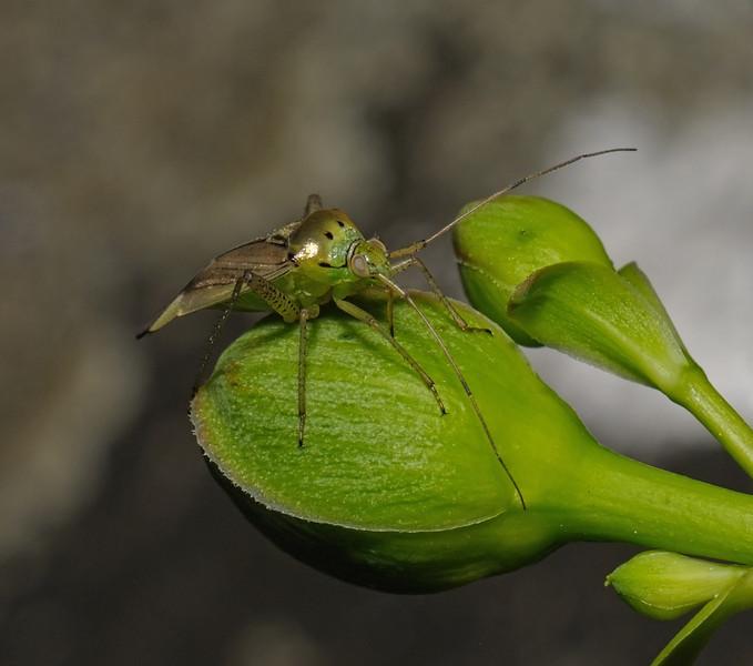 Closterotomus trivialis female, June