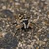 Salticus scenicus, June