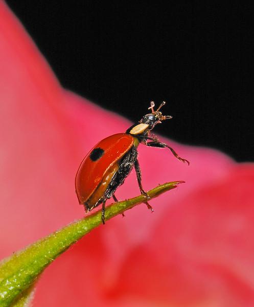 Ladybird, May