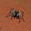 Pseudeuophrys sp male, June