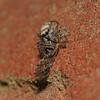 Salticus scenicus, July