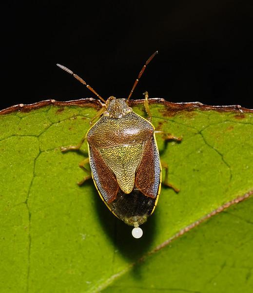 Gorse Shieldbug - Piezodorus lituratus, September