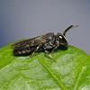 Hylaeus communis, June