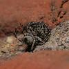 Pseudeuophrys sp pair, June
