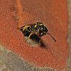 Mason Wasp - Ancistrocerus sp, July
