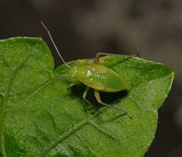 Closterotomus trivialis nymph, May
