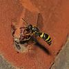 Mason Wasp - Ancistrocerus sp, June