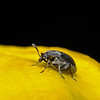 Pollen Beetle, June