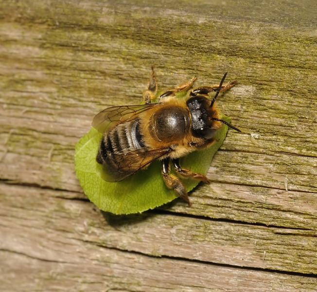 Leaf-cutter bee - Megachile sp, July