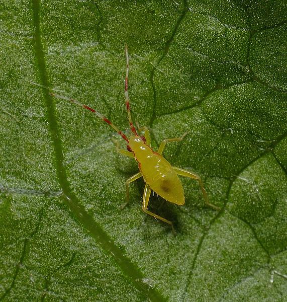 Campyloneura virgula nymph, May