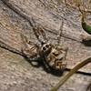 Salticus scenicus, August