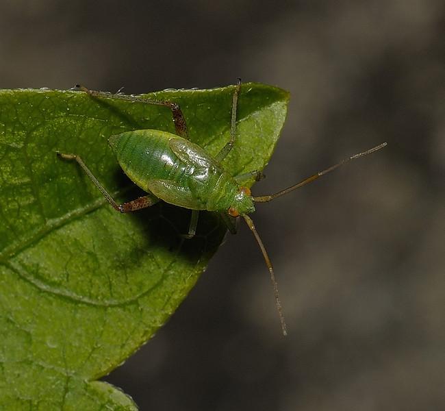 Closterotomus trivialis nymph, April