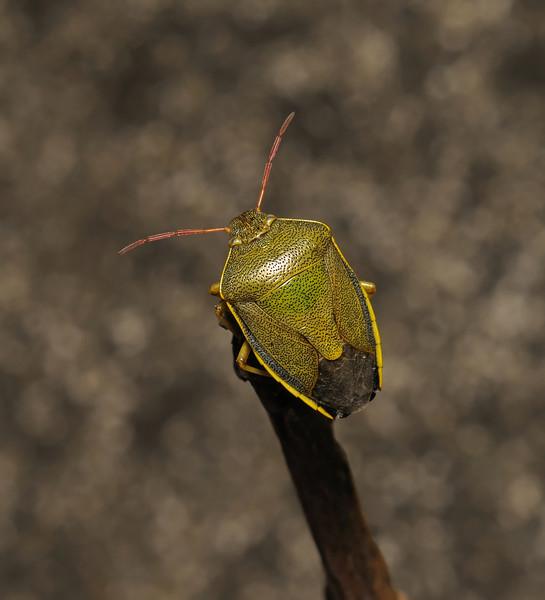 Gorse Shieldbug - Piezodorus lituratus, June